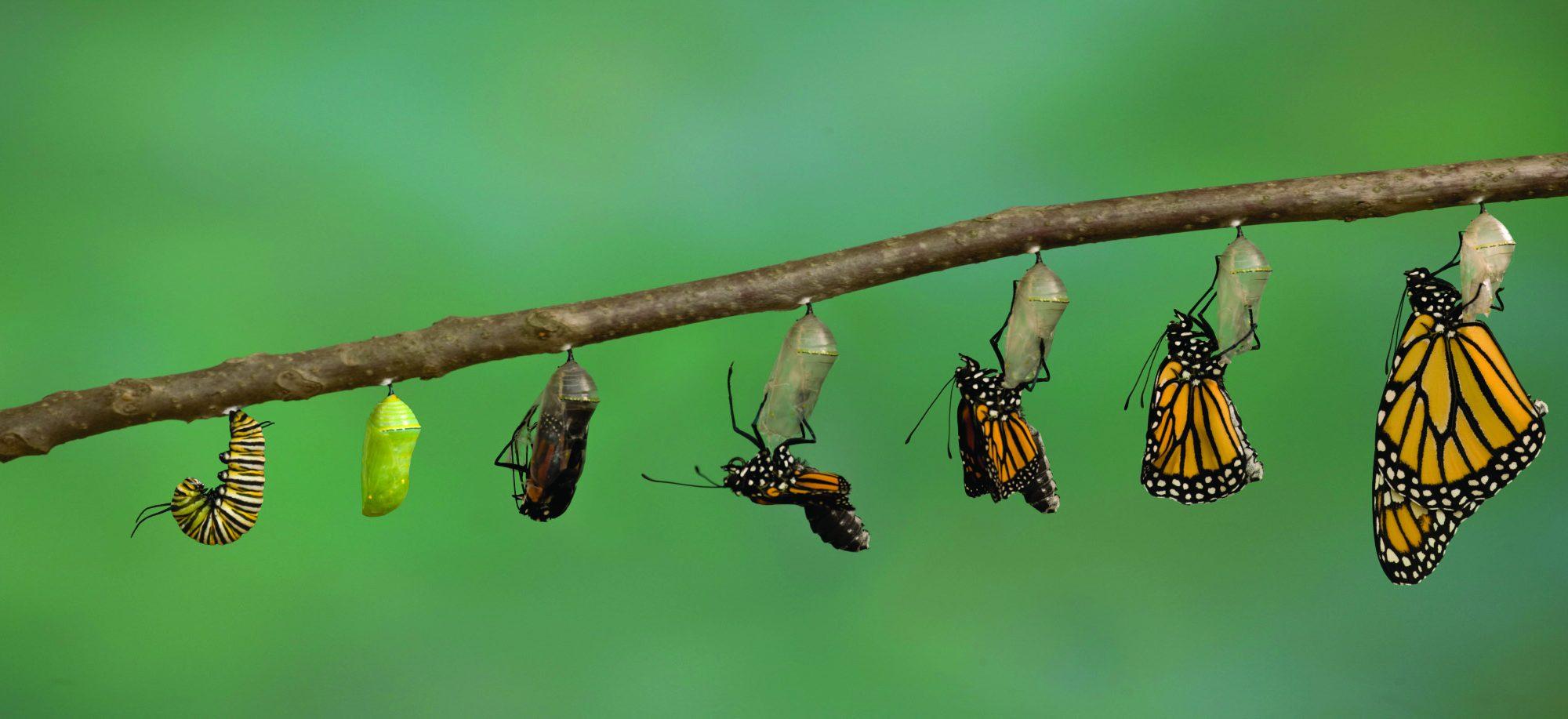 تبدیلشدنِ یه کرم به یه پروانه با گذر از مرحلهی پیلگی